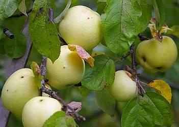 яблоки при грудном вскармливании в первый месяц